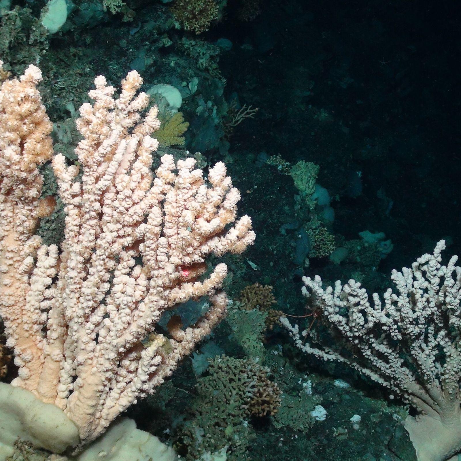 Grandes corais