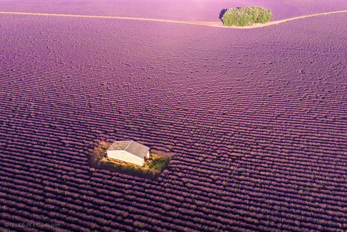 Em Provence, França, a paisagem é todos os anos invadida por um oceano de lavanda. A ...