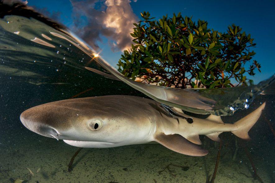Os tubarões-limão passam a adolescência perto dos mangais que os protegem dos grandes predadores. Para captar ...