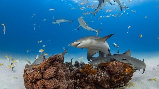 Os tubarões-limão (na imagem vemos tubarões-limão aglomerados em torno de um coral na ilha Grand Bahama) ...