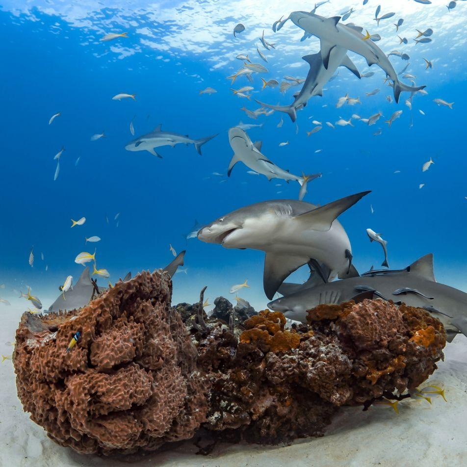 Os tubarões formam 'amizades' que duram anos, dissipando o mito do 'tubarão solitário'