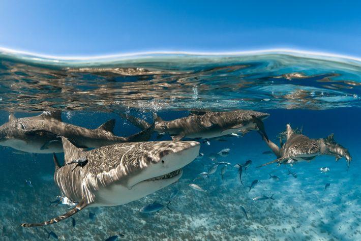 Os tubarões-limão (aqui fotografados ao largo da costa de Grand Bahama) procuram a companhia de outros ...