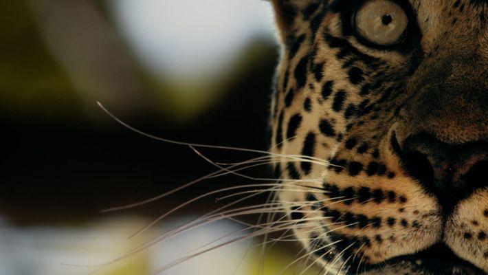 Os Extraordinários Saltos dos Leopardos