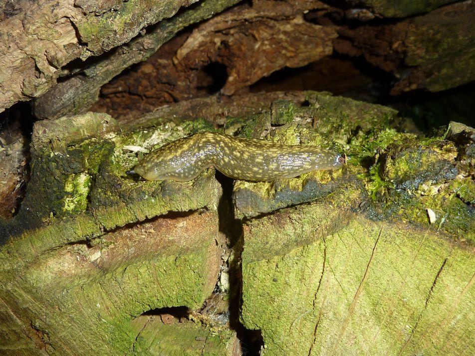 Lesma-do-gerês, uma rara espécie descoberta no Parque das Serras do Porto