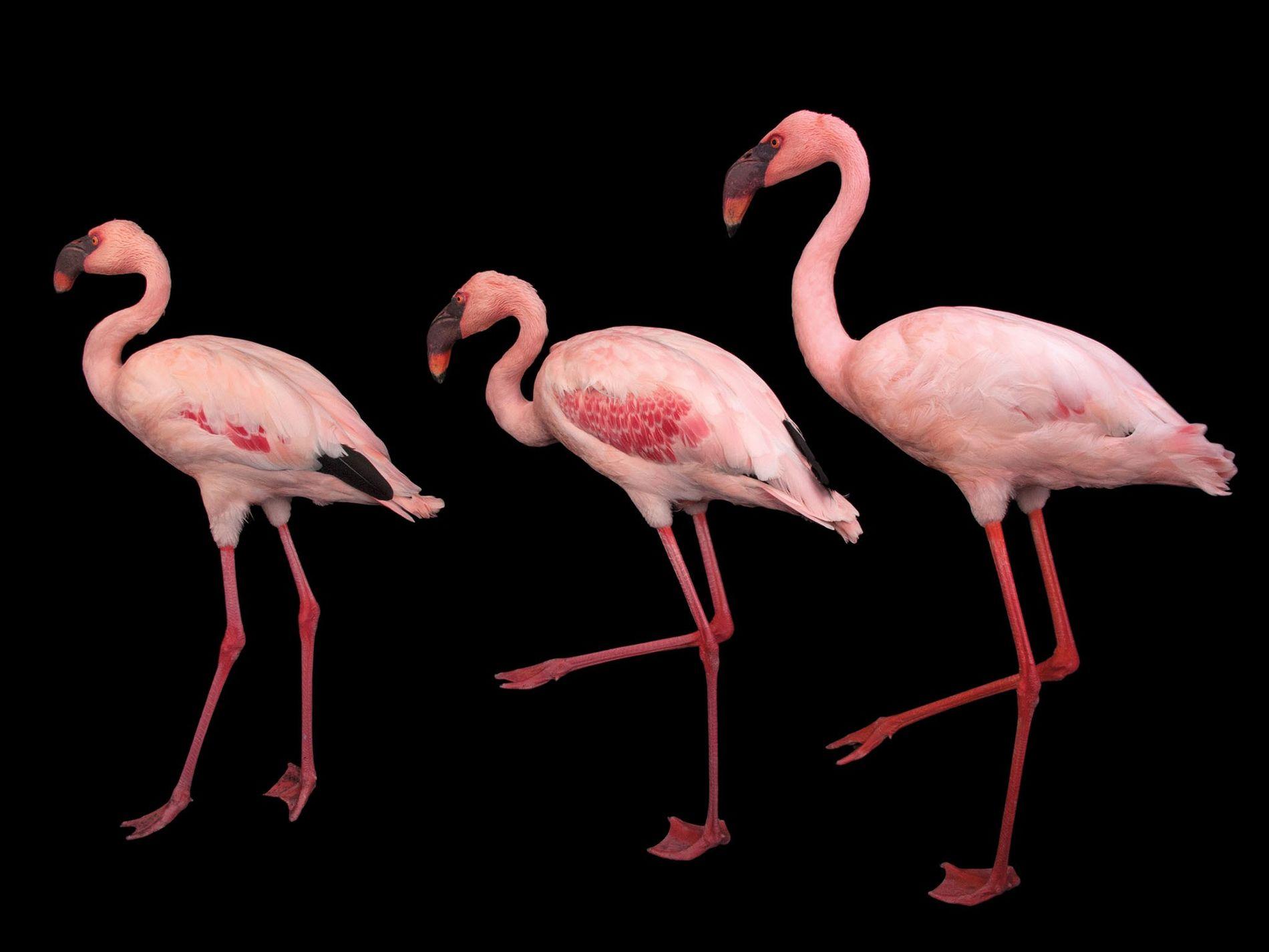 Flamingo-pequeno, Phoeniconaias minor (quase ameaçado)