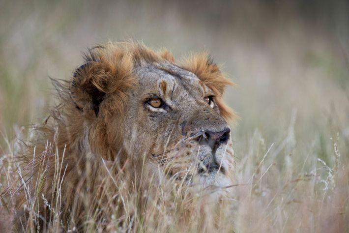 A forma mais ética de ver grandes felinos na natureza é num safari.