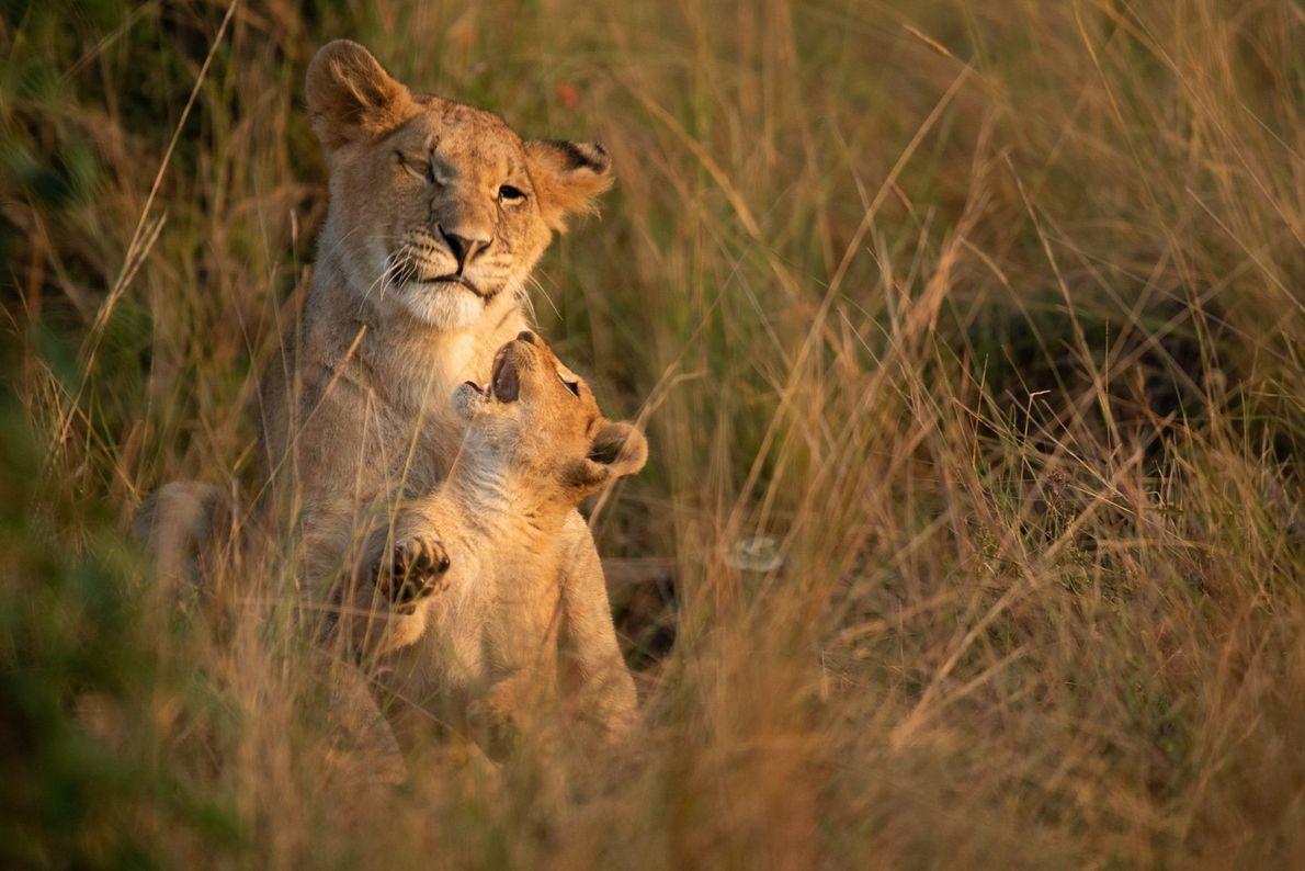 Leões na brincadeira, na Reserva Nacional Maasai Mara do Quénia, uma savana preservada que também abriga ...