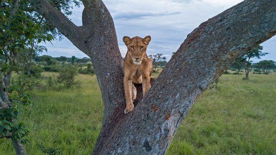 Uma leoa repousa em cima de uma árvore no Parque Nacional Queen Elizabeth, no Uganda. Com ...