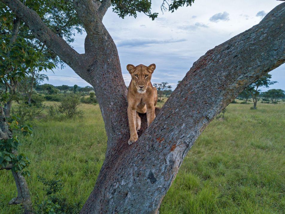 Não Sabemos Realmente Quantos Leões Vivem em África. Porquê?