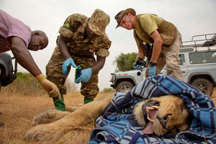 Investigadores e guardas florestais colocam um novo rastreador por satélite num leão no Parque Nacional Queen ...