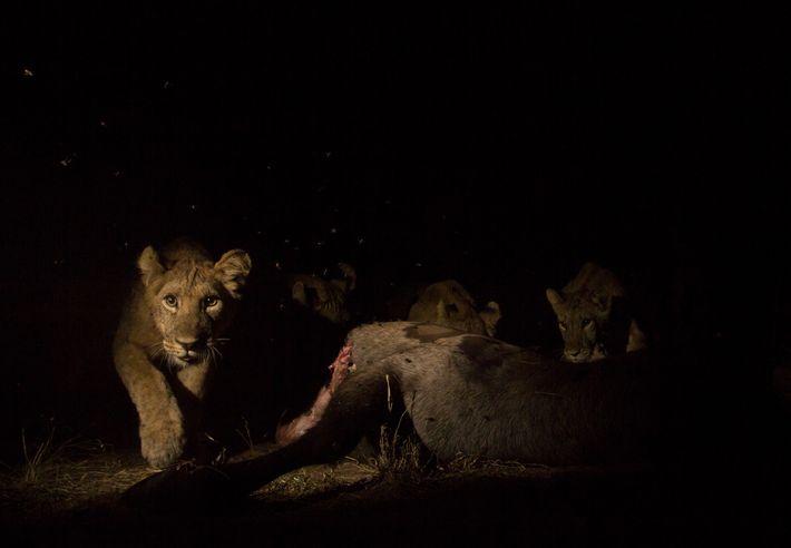 Um jovem leão, que estava a comer um antílope, acionou a câmara de uma armadilha fotográfica. ...