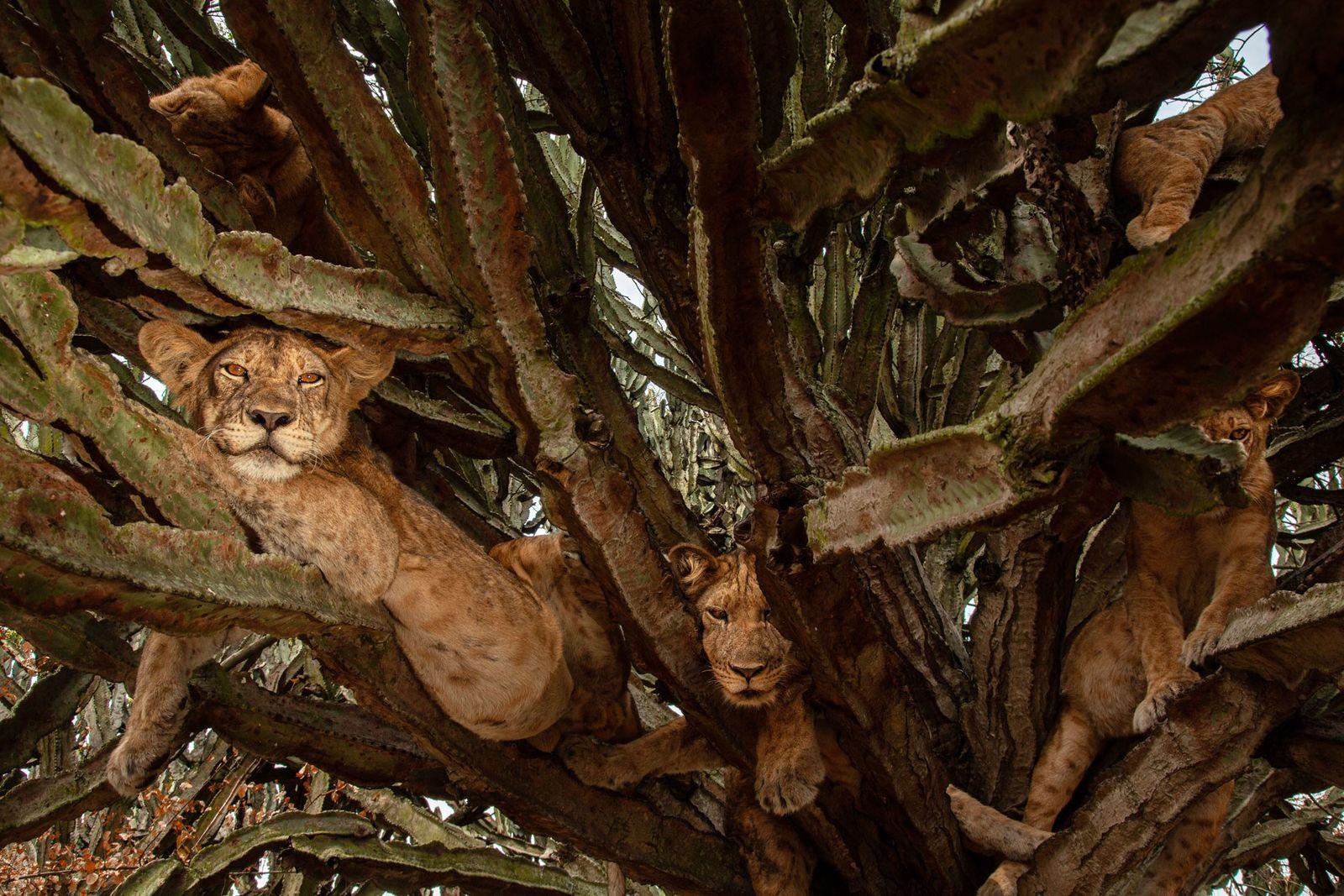 Crias com seis meses de idade relaxam numa árvore. Embora os cientistas discordem sobre os melhores ...