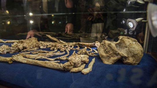 Australopithecus prometheus exposto