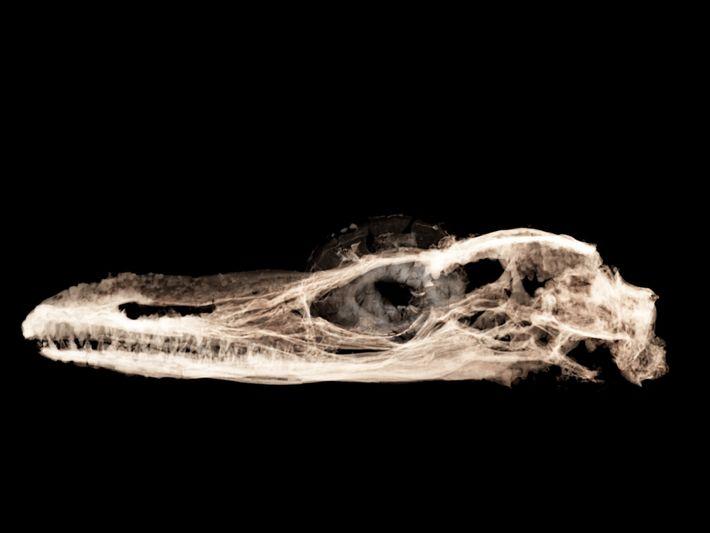 Usando raios-x de alta frequência de um acelerador de partículas, os investigadores analisaram o novo fóssil ...