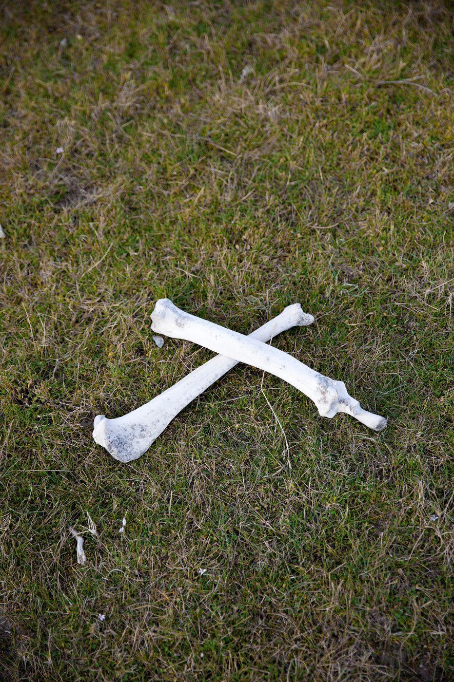 Esqueleto de uma cria de guanaco