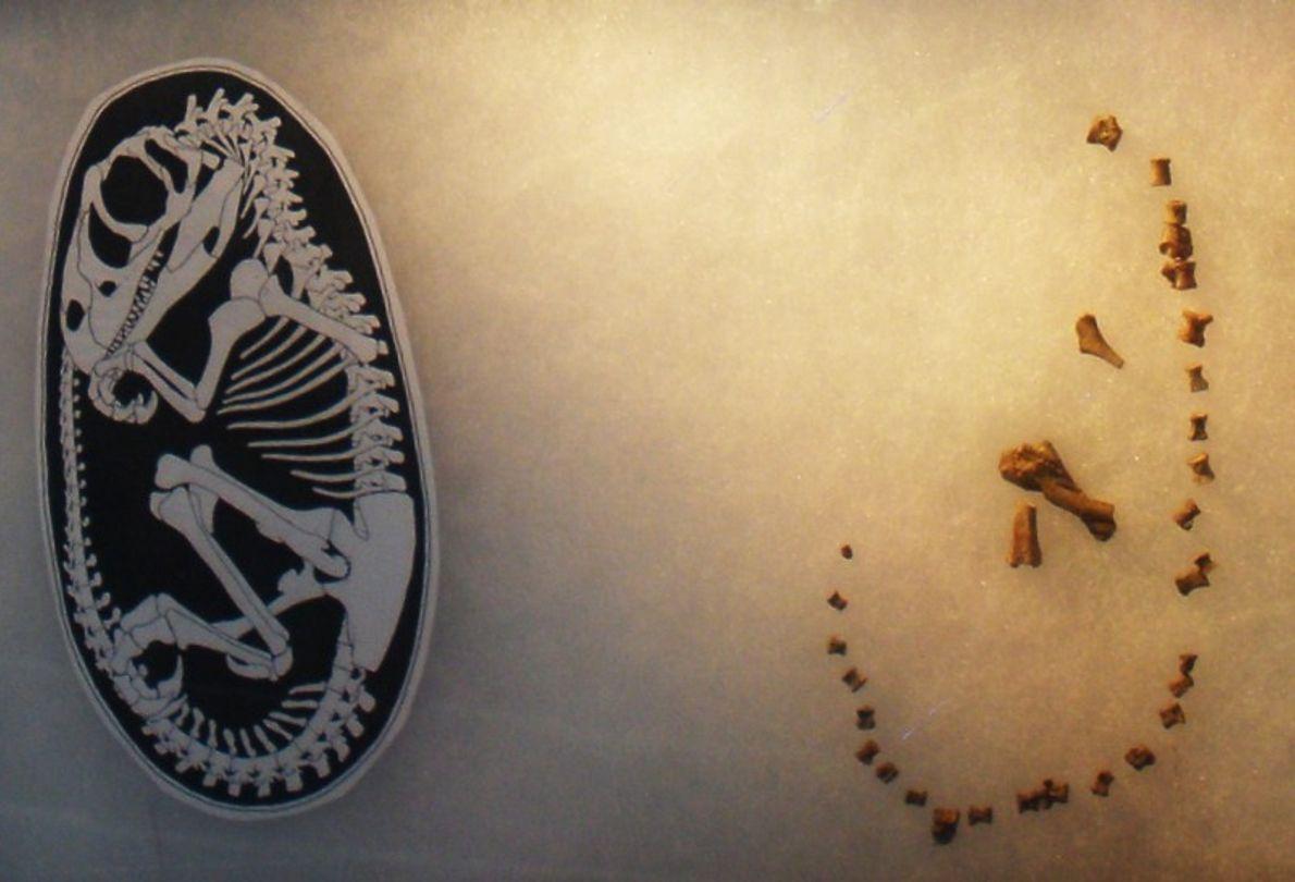 Fóssil de um embrião de Lourinhanossauro.