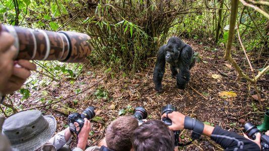 Turistas que tiram selfies com gorilas selvagens podem infetar os animais com COVID-19 e outras doenças