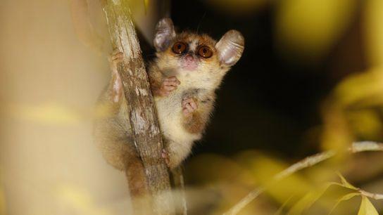 Os lémures-rato, como o Microcebus berthae, que estão perigo crítico de extinção, são tão pequenos que ...