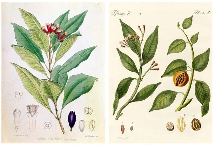 Na época de Magalhães, especiarias como o cravinho e noz-moscada eram mercadorias preciosas na Europa, e ...
