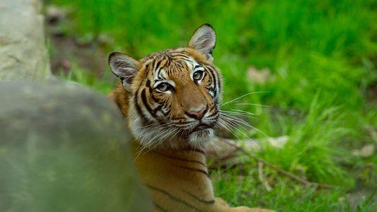 Tigre Testa Positivo Para Coronavírus em Zoo de Nova Iorque – Primeiro Caso Conhecido no Mundo