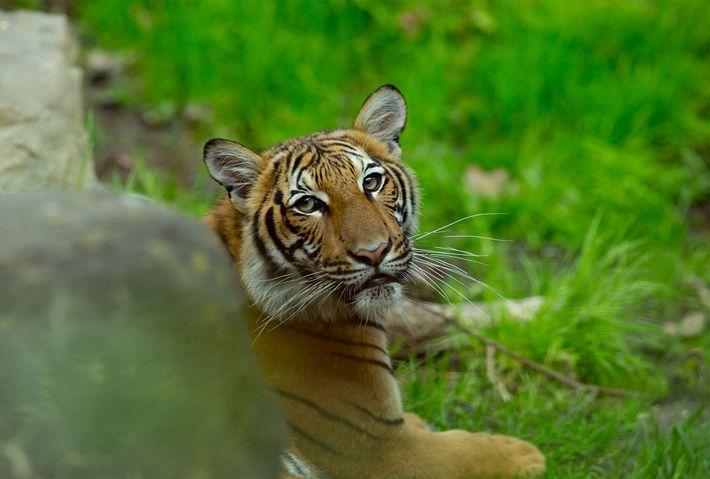 Um tigre-malaio fotografado em 2017 no Zoo de Bronx. Num acontecimento sem precedentes, um dos tigres-malaio ...
