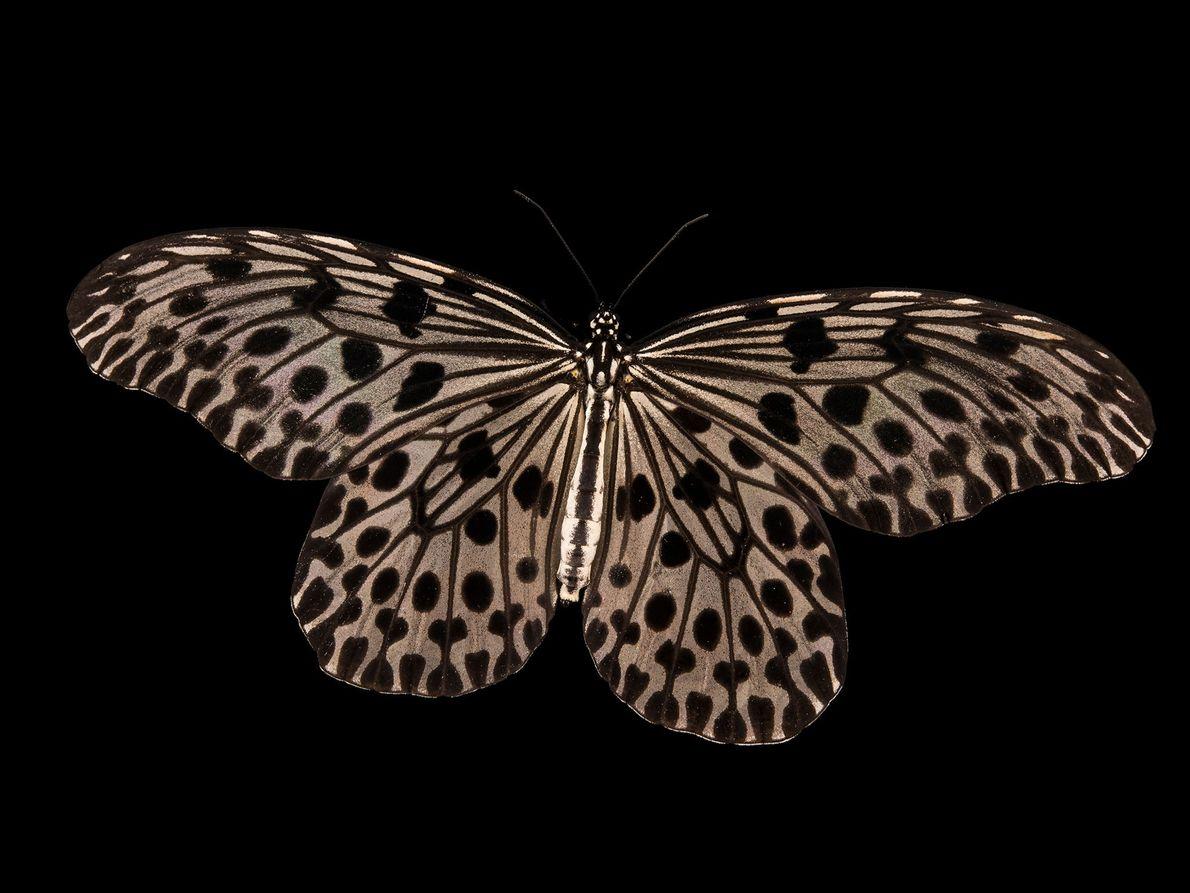 Idea lynceus (não foi avaliada) Embora ainda não faça parte da Lista Vermelha da UICN, esta borboleta ...