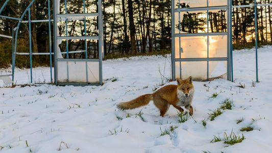 Fotografias: Uma década depois do desastre nuclear, Fukushima está repleta de vida selvagem