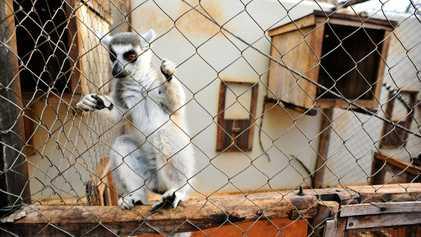 Lémure que morreu de tuberculose foi provavelmente vítima do comércio ilegal de animais de estimação