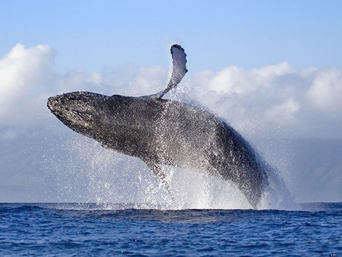 Testemunhe as Baleias-Corcundas, Maui