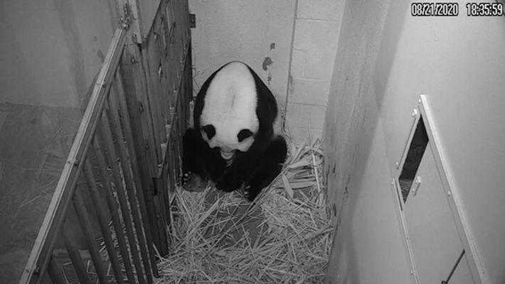 O panda-gigante Mei Xiang inclina-se sobre a sua cria recém-nascida nesta imagem captada pela câmara do ...