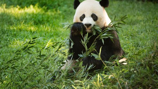 Nesta fotografia captada em 2016, o panda-gigante fêmea Mei Xiang, que deu à luz uma cria ...