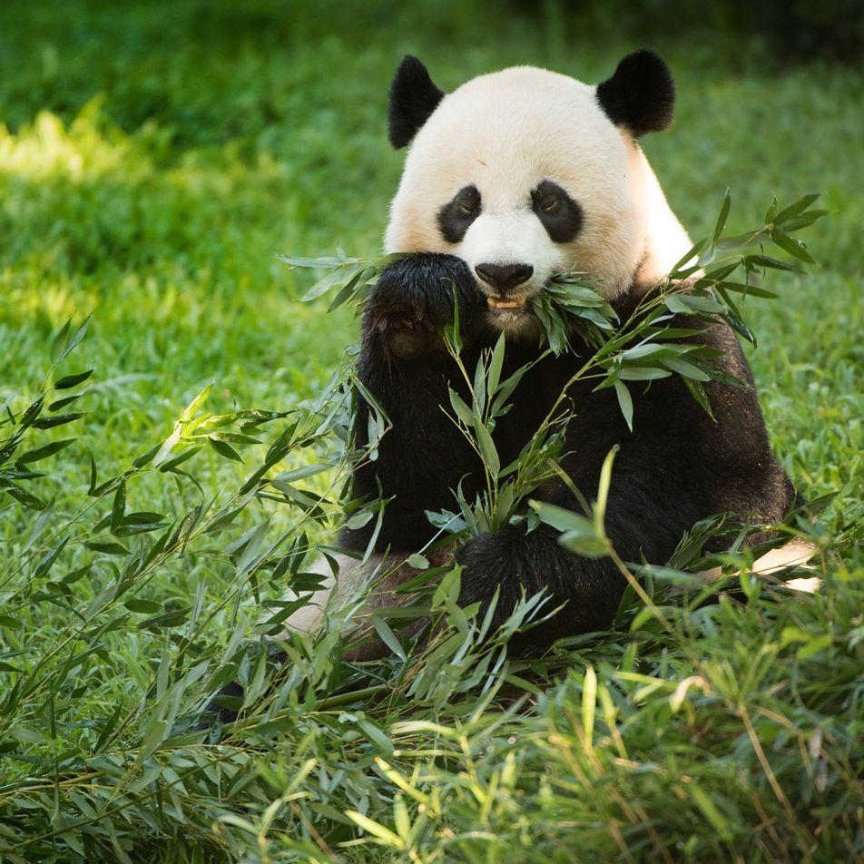 Panda-Gigante Mei Xiang Dá à Luz em Zoo de Washington