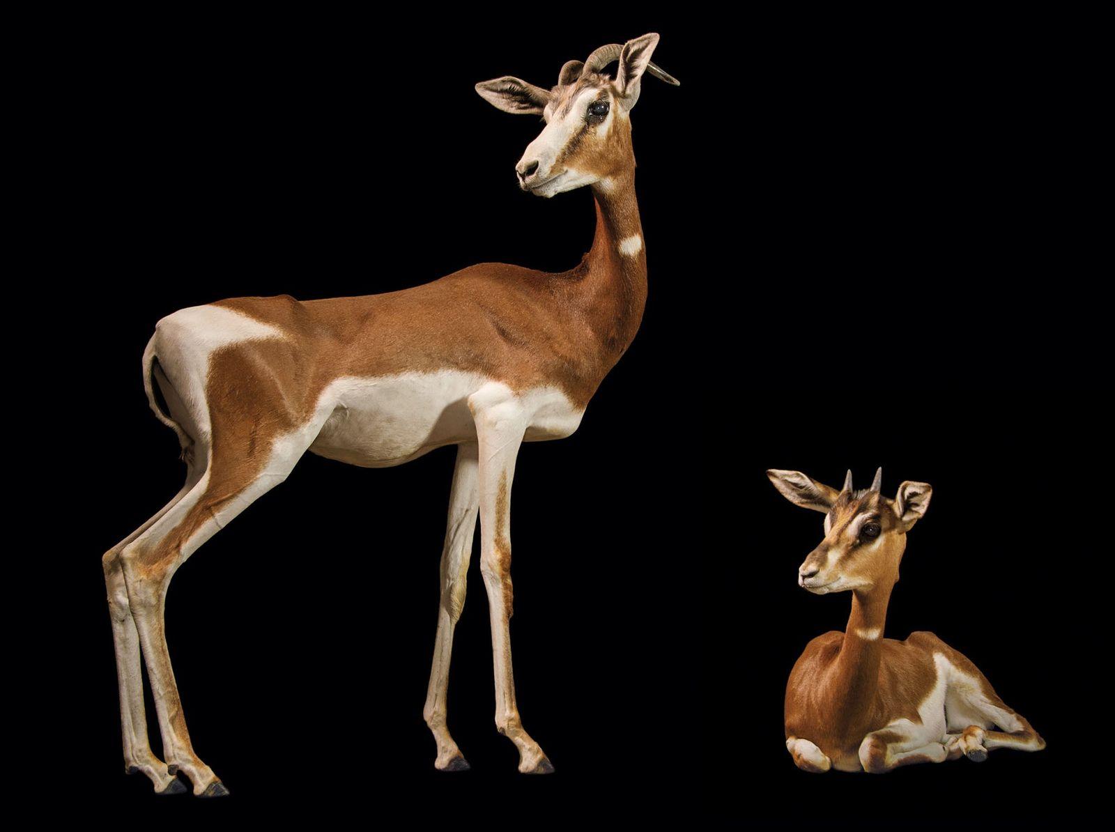 Gazela dama, Nanger dama mhorr (em perigo crítico) Esta subespécie de gazela dama já viveu numa área ...