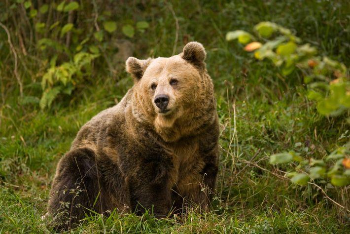 Os ursos castanhos da Cantábria continuam a vaguear livremente em determinadas regiões montanhosas das Astúrias, incluindo ...