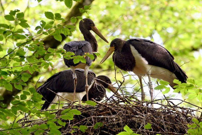 O Parc National de Forêts fornece habitats para muitas espécies raras e protegidas, incluindo a cegonha-preta.