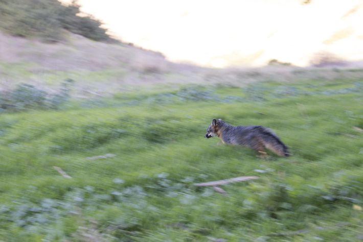Uma raposa-das-ilhas, libertada de um exame físico e de vacinação feita pelos biólogos do parque nacional, ...