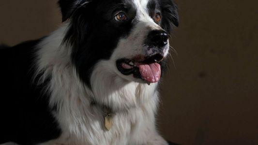 Alguns cães são génios – tal como os humanos