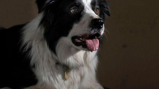 Cão da raça border collie