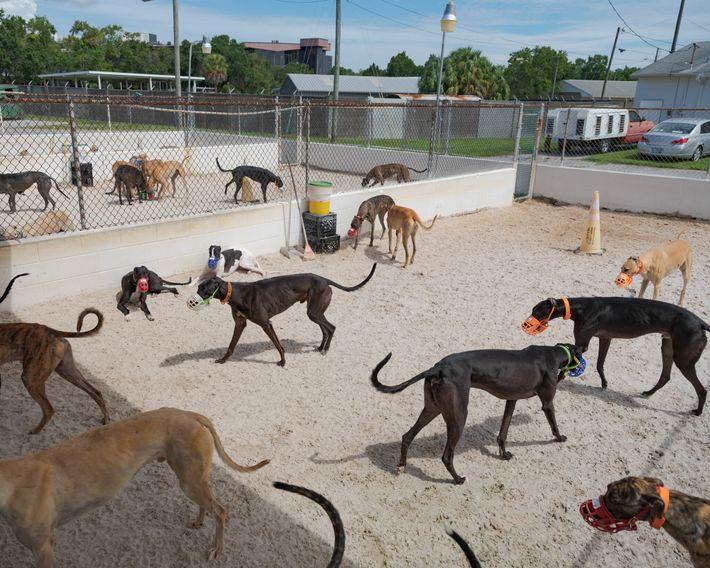 Galgos de corrida num canil na Flórida. Apesar de geralmente serem dóceis, estes cães costumam usar ...