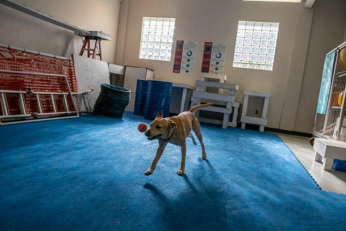 """Roxie, uma cadela labrador muito nervosa, brinca antes de começar uma experiência. """"Roxie precisa de brincar ..."""
