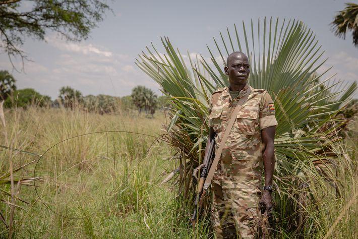 O guarda florestal Odokonyero Christopher ao lado de uma armadilha de arame em Murchison Falls. Os ...