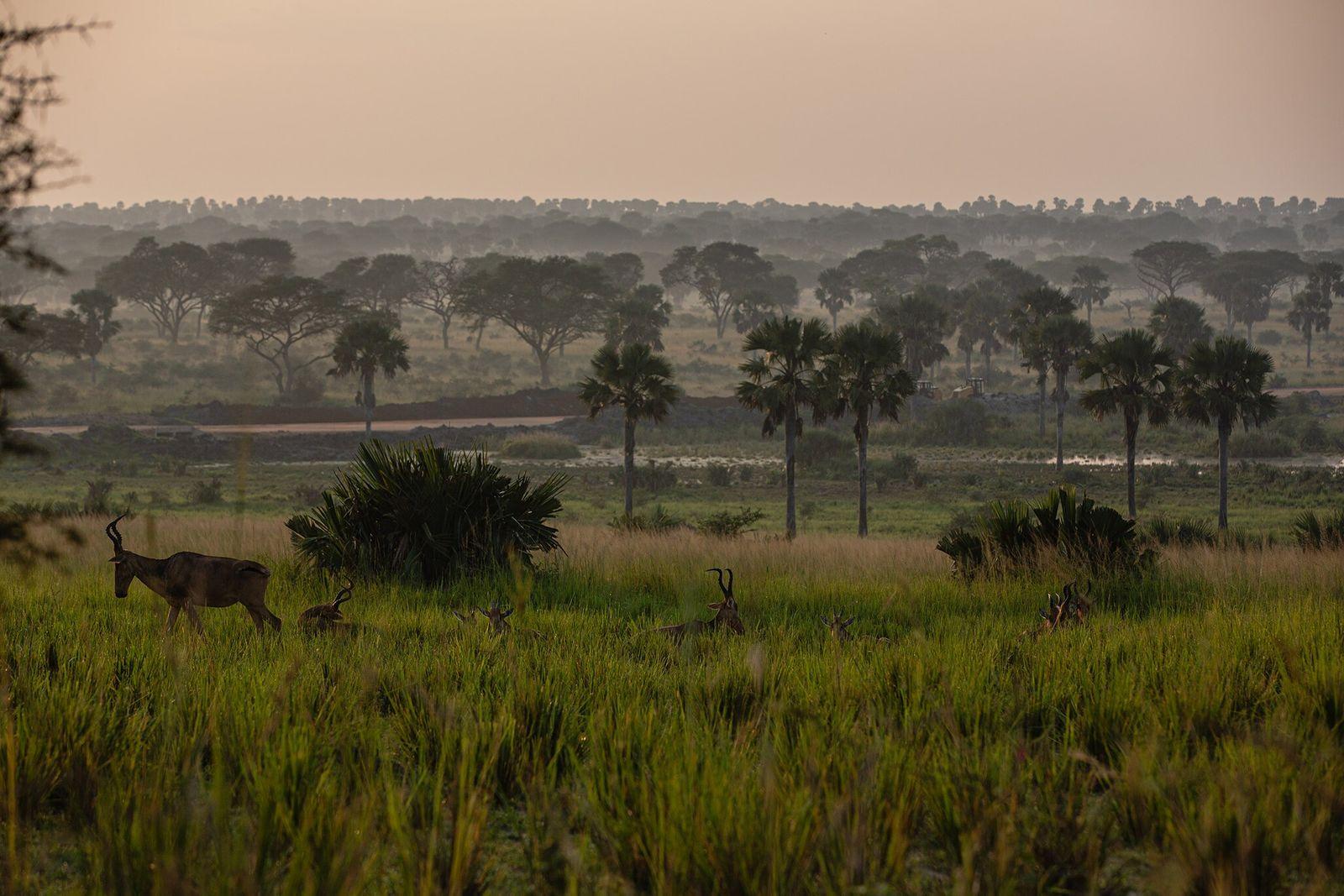 Em Murchison Falls, os caçadores furtivos colocam geralmente as armadilhas de manhã, e verificam as capturas ...