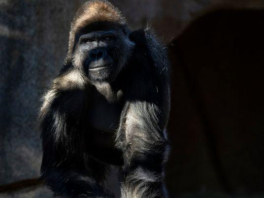 Macacos em zoo nos EUA recebem pela primeira vez vacina COVID-19 para animais