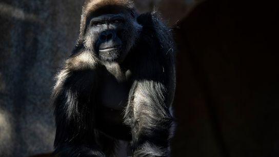 San Diego Zoo gorilla troop