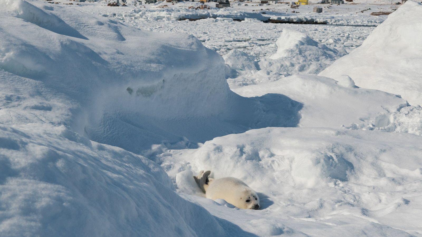 harp-seal-blanc-sablon