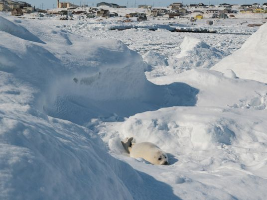 Crias de foca-harpa morrem em terra à medida que o gelo de inverno desaparece