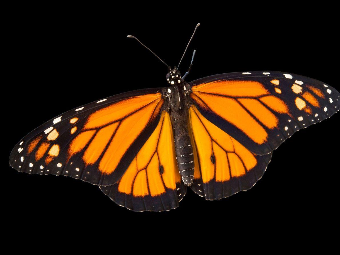 Danaus plexippus (não foi avaliada) Algumas borboletas-monarca migratórias dependem dos habitats no México, EUA e Canadá para ...