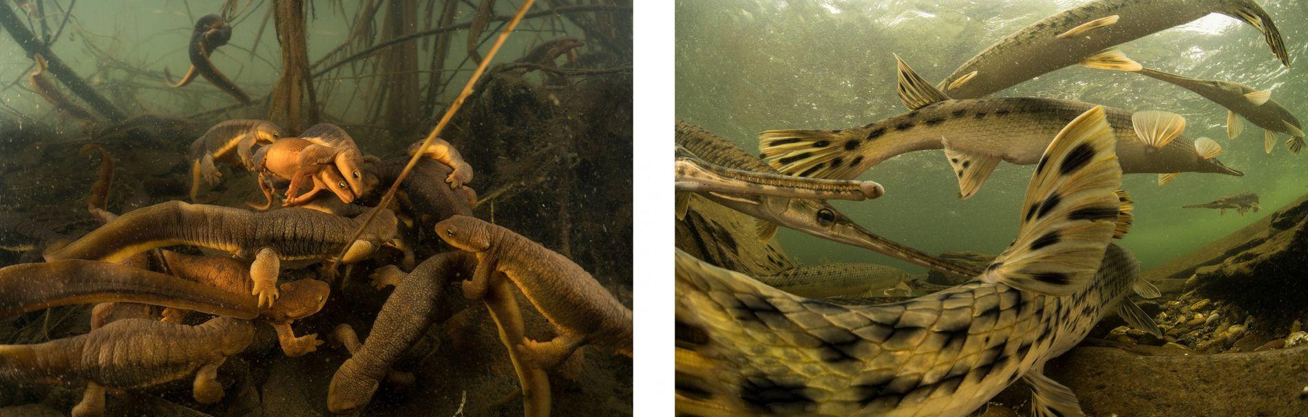 Direita: Os peixes jacaré são peixes antigos que pouco mudaram desde os tempos da pré-história. Uma ...