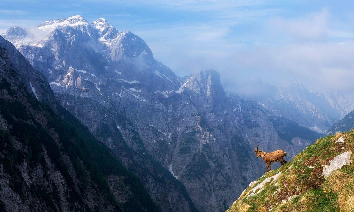 Um íbex alpino perante uma inclinação íngreme nos Alpes Julianos, uma série de cumes de calcário ...