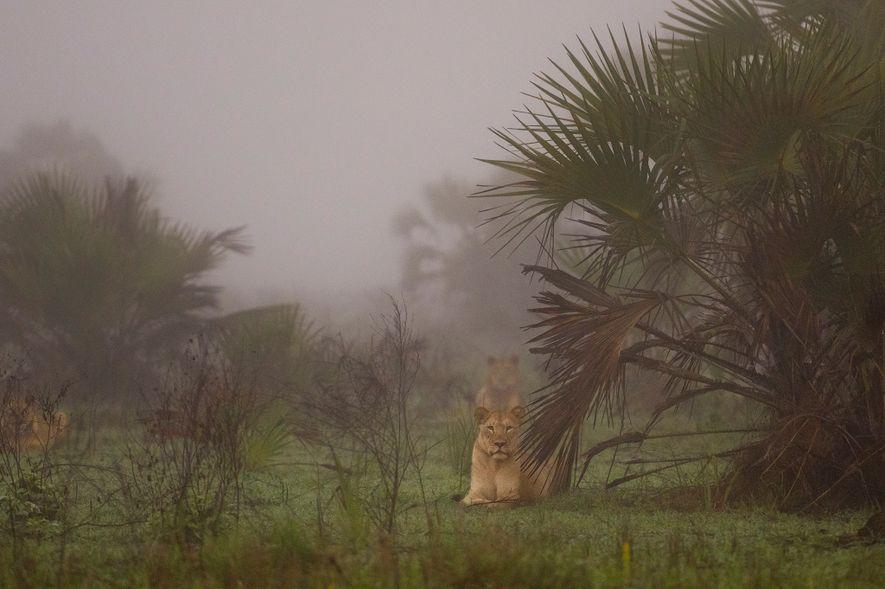 Os leões que foram marcados e libertados numa região remota da área do Delta do Zambeze, ...